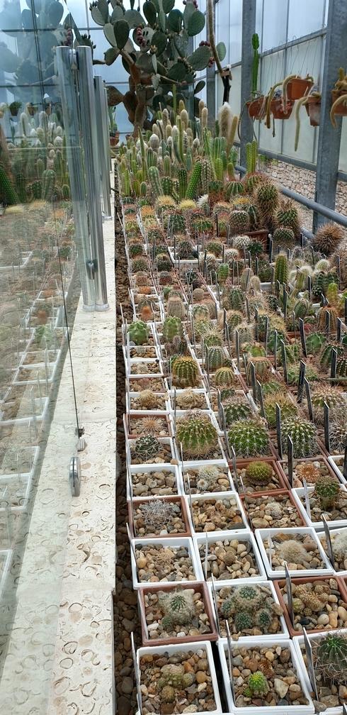 Małe kaktusy poustawiane w doniczkach w ogrodach krolowej marii w bulgarii