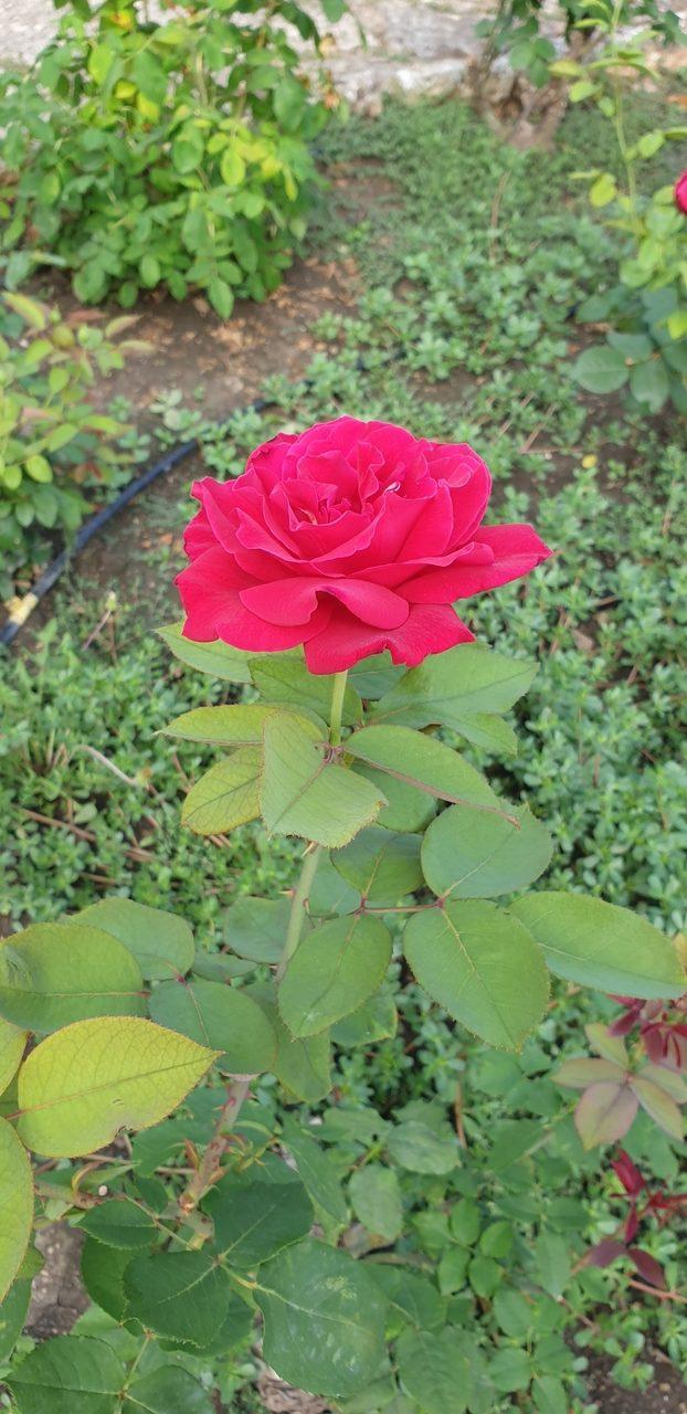 czerwona roza w ogrodach krolowej marii